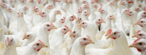 Chickens Awaiting Slaughter | Animal By-Products