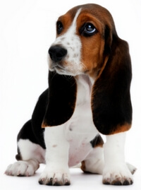 Basset Hound Puppy Waits for Food