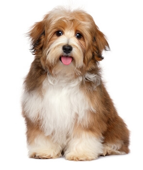 Havanese Puppy That Prefers the Best Grain Free Dog Foods