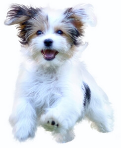 Happy Puppy for Best Small Breed Puppy List